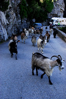 Mountain road where livestock get right of way